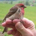 Common Rosefinch P & M Harris - thumbnail