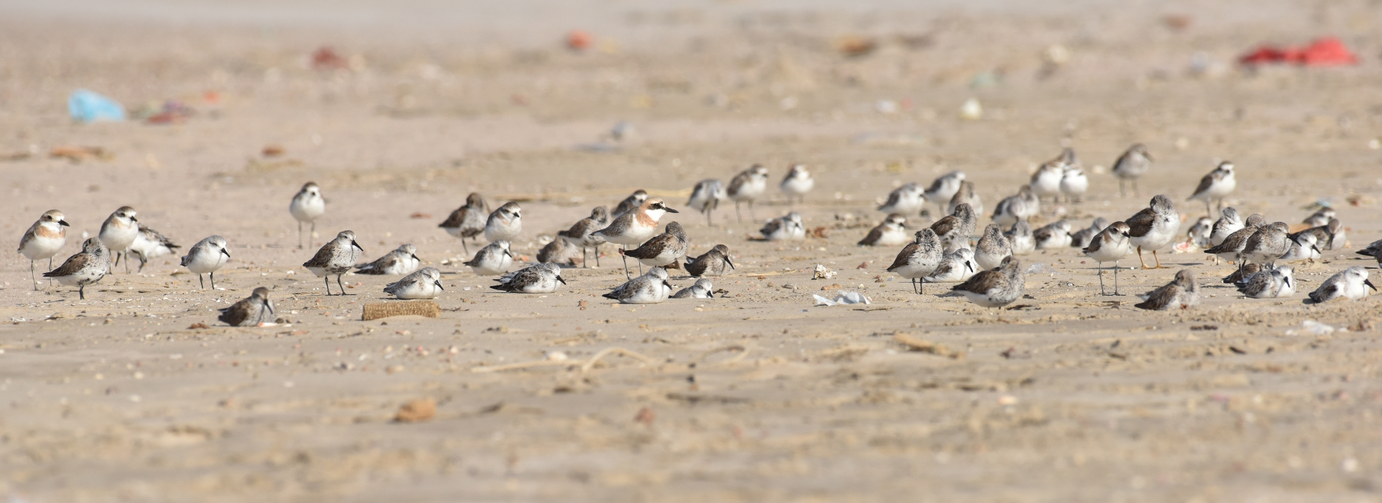 Greater Sand Plover - cropped (Jaysukh Parekh Suman)