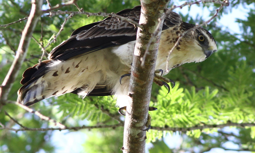 Protecting tropical forests is a priority for A Rocha because of their importance for the planet's climate, forest-dependent human communities and the fabulously biodiverse fauna and flora. This is an Ayres' Hawk-eagle in Arabuko-Sokoke Forest, Kenya. (Ben Porter)