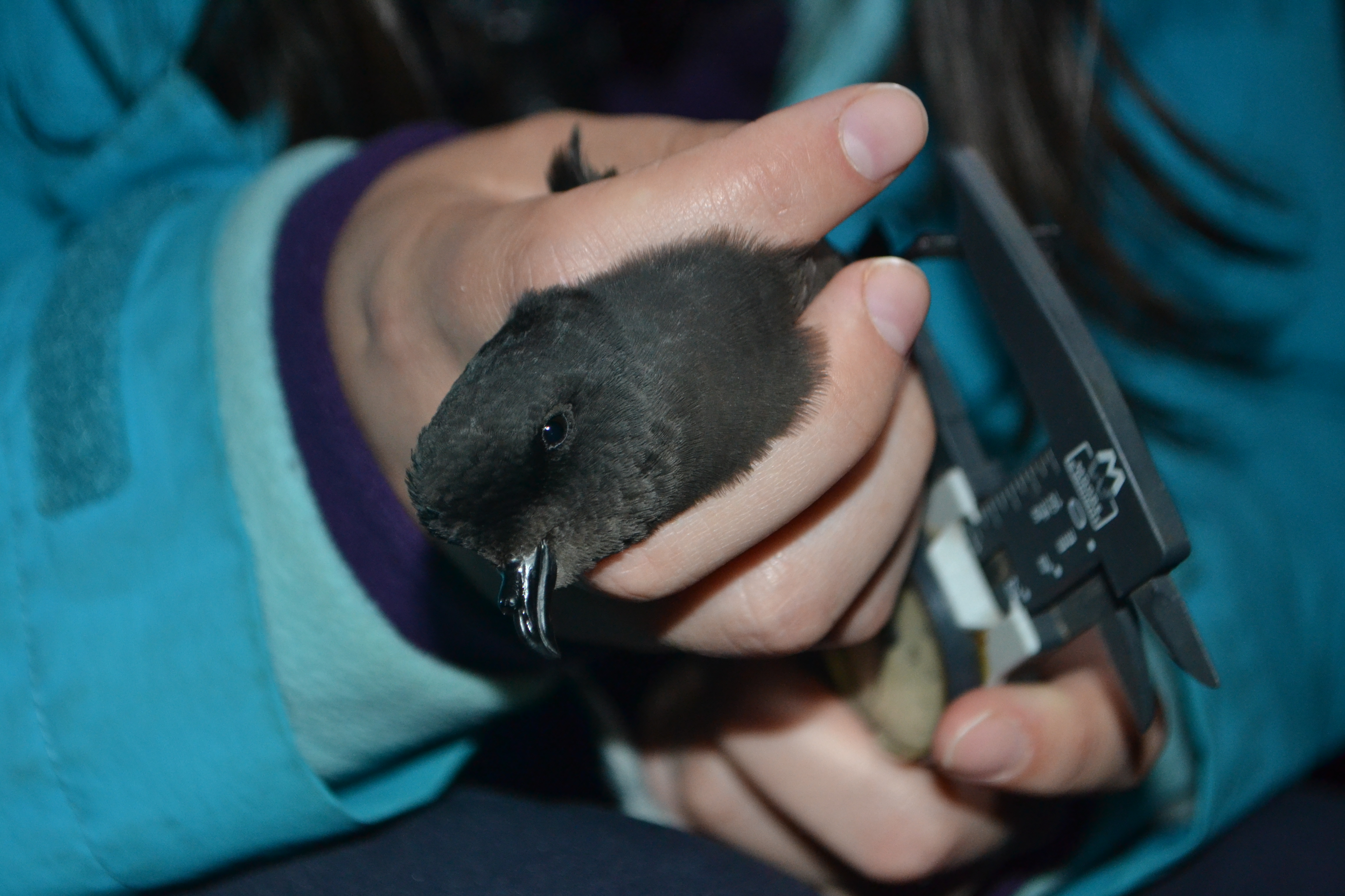 A Rocha Portugal has ringed > 5,000 European Storm-petrels as part of research into their survival strategies.