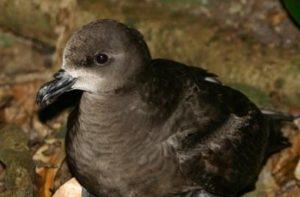 grey-faced-petrel-new-zealand