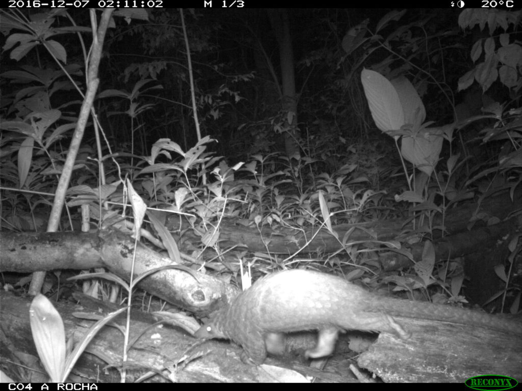Camera trap - White-bellied Pangolin