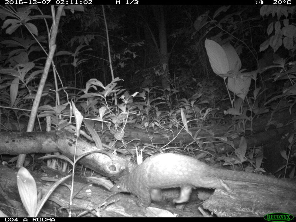 Camera trap - White-bellied Pangolin