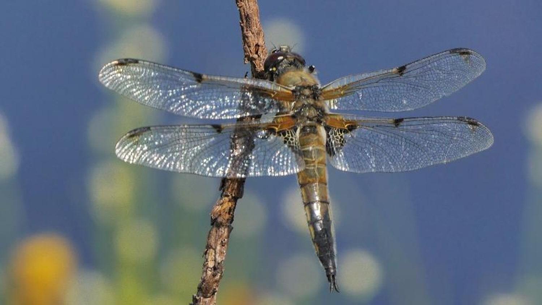Libellule à quatre taches (Libellula quadrimaculata). Foto: David Chandler