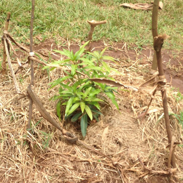 A fruit tree planted by pupils