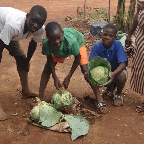 Pupils harvesting cabbages