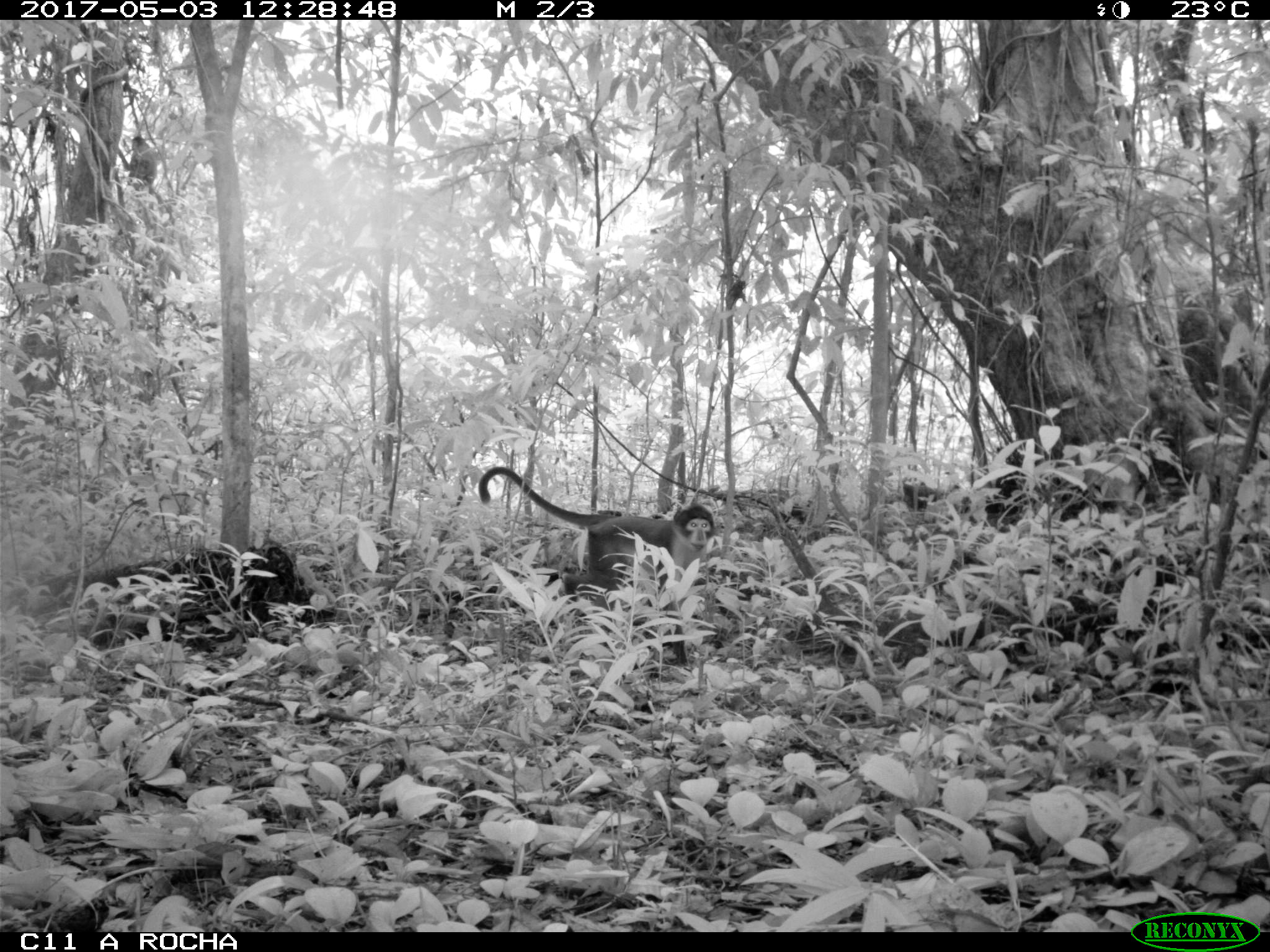 White-naped Mangabey (Cercocebus lunulatus) caught on camera trap 2017-05-03 Atewa Forest Ghana - (c) A Rocha International