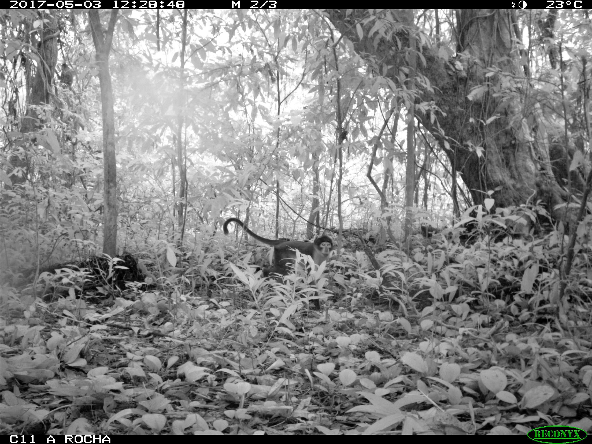 White-naped Mangabey (Cercocebus lunulatus) caught on camera trap 2017-05-03 Atewa Forest Ghana - (c) A Rocha International