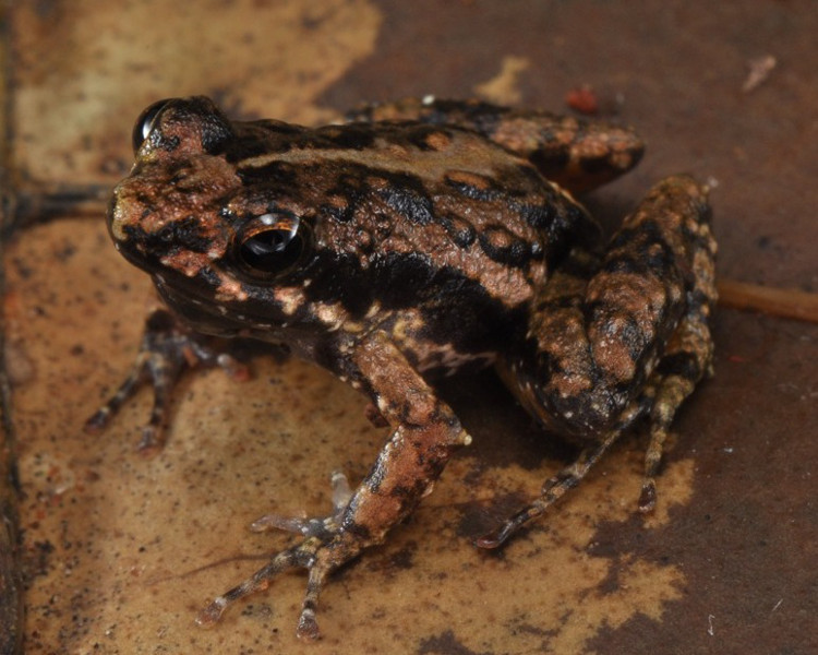Afia Birago Puddle Frog (Phrynobatrachus afiabirago) can be distinguished by the combination of a slender body, short and pointed snout, a relatively warty dorsum and a black-spotted throat. Holotype photo by Adam Leache.