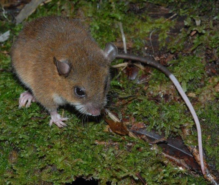 This mouse, captured high in the Nakanai Mountains, is not just a new species, but represents an entirely new genus. (© Stephen Richards / Conservation International)