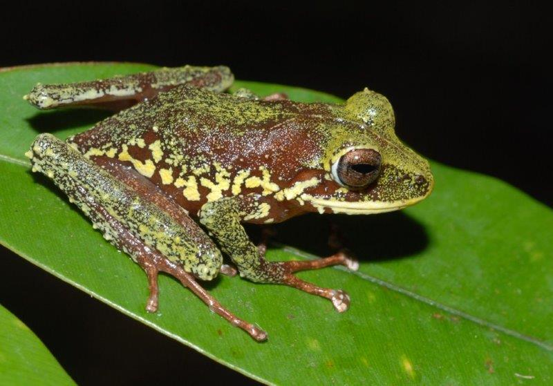 This new species from New Britain, a yellow-spotted frog of the genus Platymantis, belongs to a group which lays their eggs on land, or in trees, where they hatch directly into froglets, without a tadpole stage. (© Stephen Richards / Conservation International)