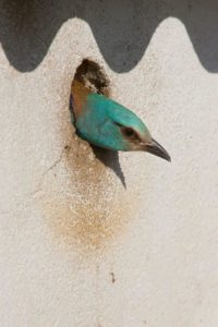 Roller at artificial nest hole (Edmund Fellowes)