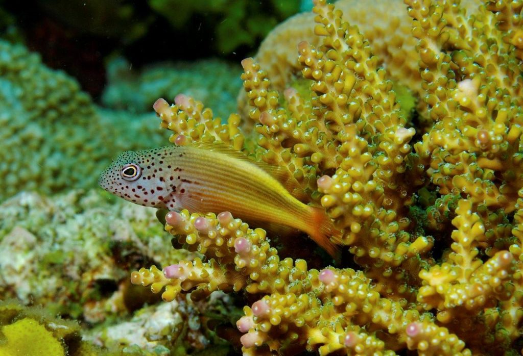 A Rocha has been studying several species of hawkfish at Watamu Marine National Park, including Freckled Hawkfish Paracirrhites forsteri (Nick Hobgood)